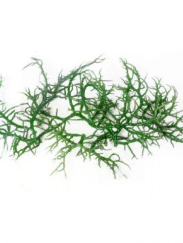 Ekstrakt z alg morskich
